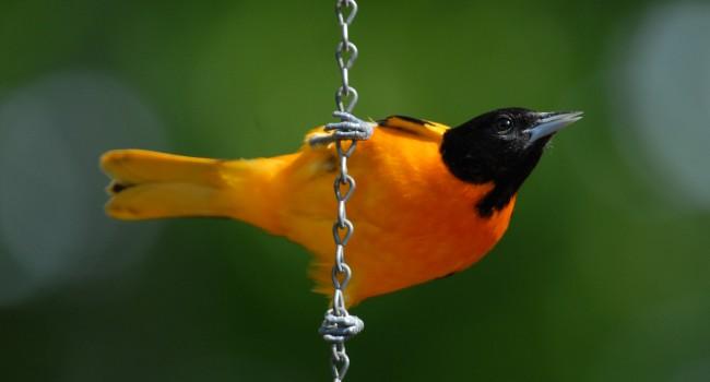 Par ici, oiseaux frugivores !